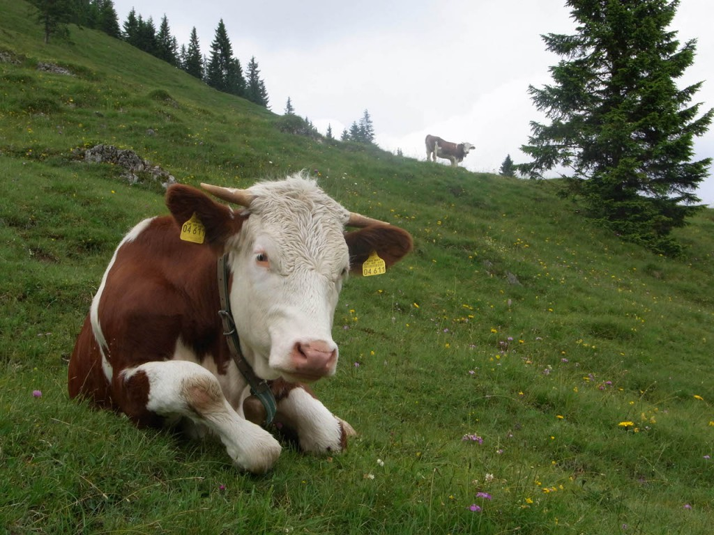 Die Kühe lassen sich von uns nicht aus der Ruhe bringen