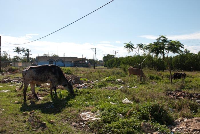 Auf der Wiese vor dem Bahnhof grasen die Kühe