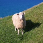 [Foto der Woche] #8 Sheep Content