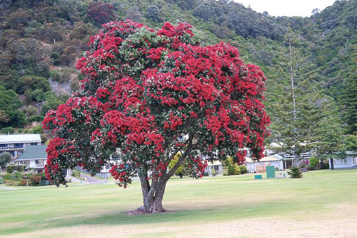 Põhutakawa, der Neuseeländische Weihnachtsbaum