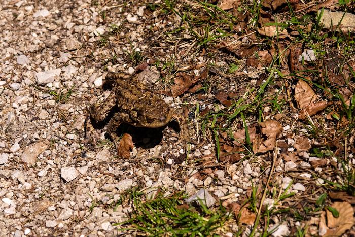Eine Kröte auf dem Weg vom Hohen Kranzberg zum Ferchensee